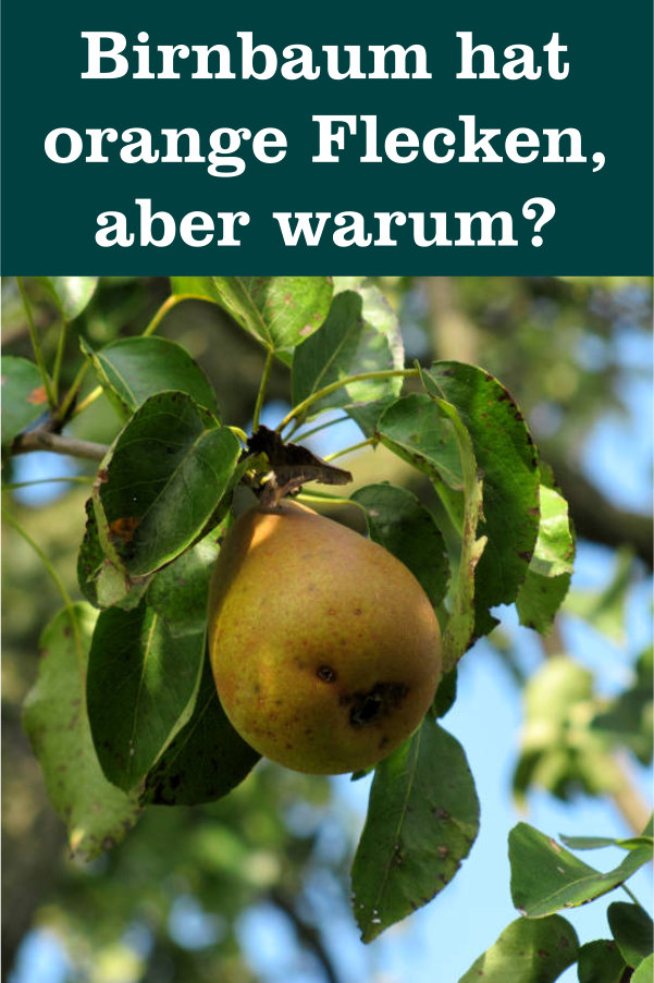 Birnbaum orange Flecken