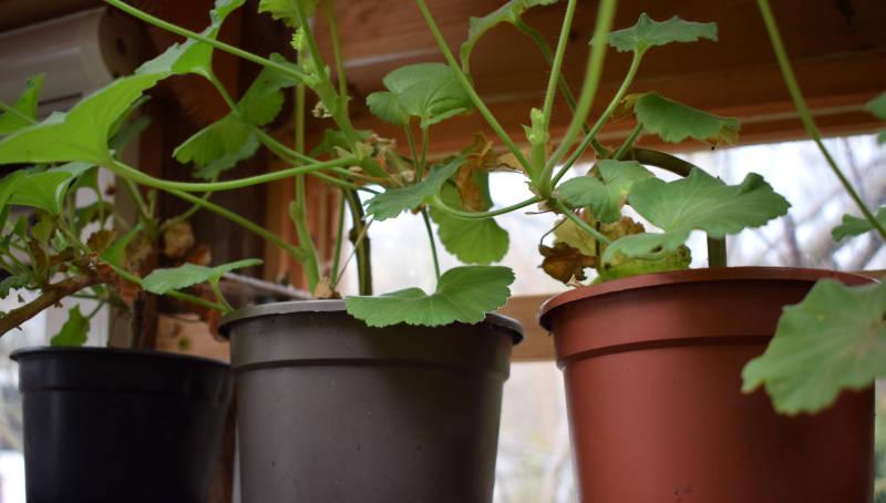 Geranien im Garten