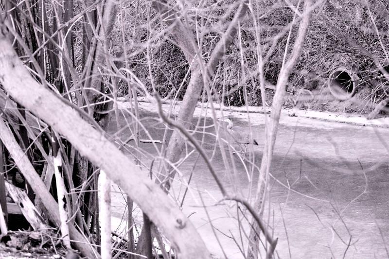 Graureiher Fischreiher im Garten