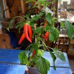 Chilipflanzen umtopfen