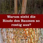 Baumrinde rostig rot