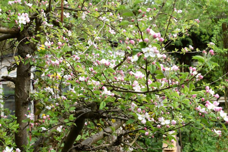 Fruchtansätze Blüten fallen ab