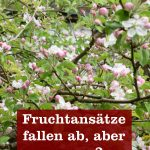 Fruchtansätze fallen ab