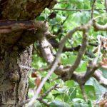 Rinde löst sich vom Baum
