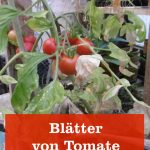 Blätter Tomate trocknen ab