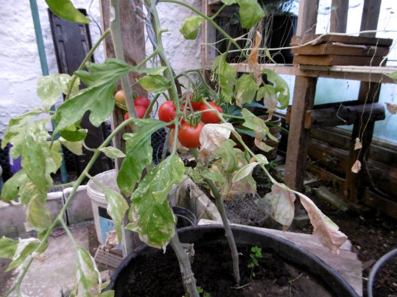 Tomaten wachsen in Pflanzbehältern