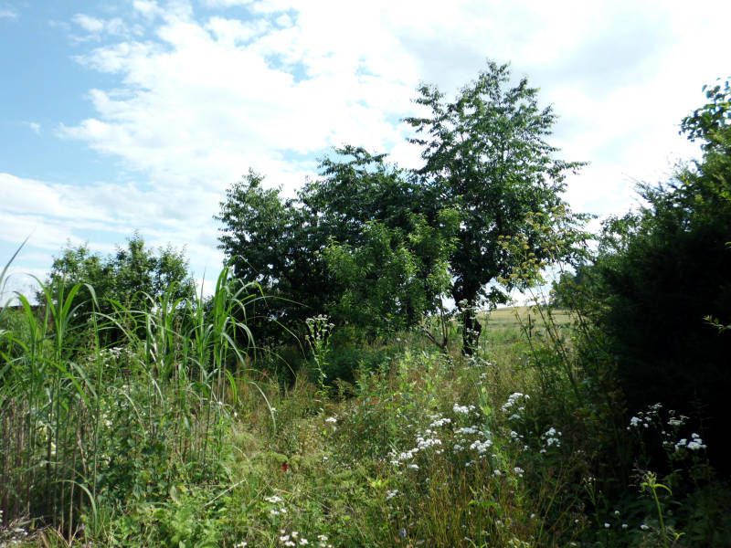 Mandelbaum hat harzigen Ausfluss