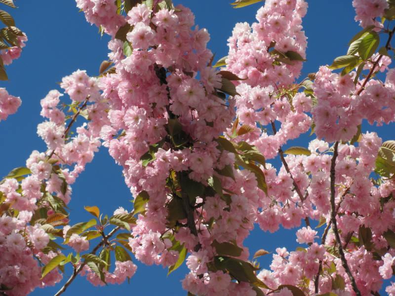 Mandelbaum im Garten