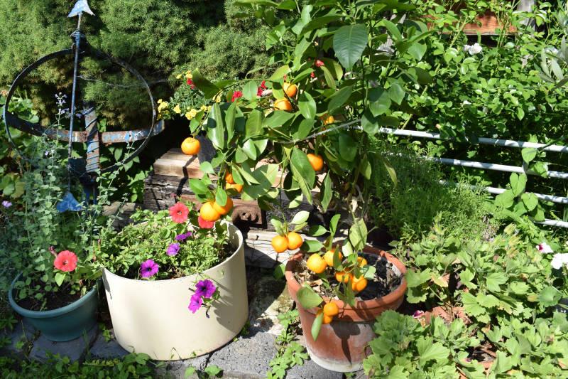 Zitrusbaum mit Früchten