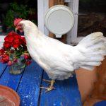 Huhn auf Tisch