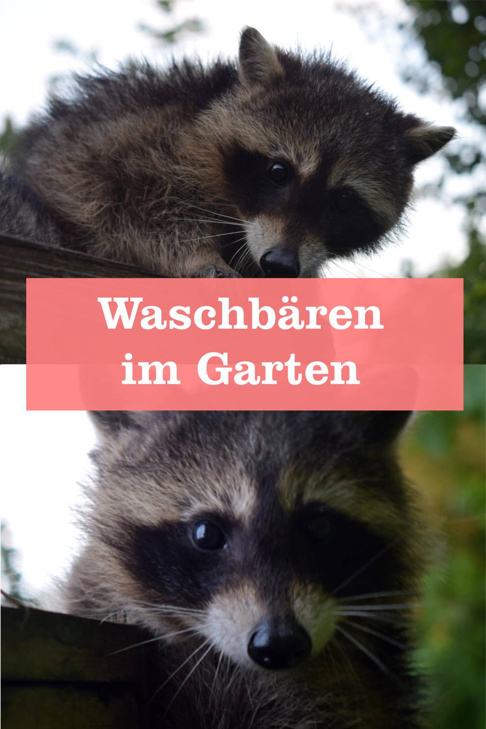 Waschbären Garten
