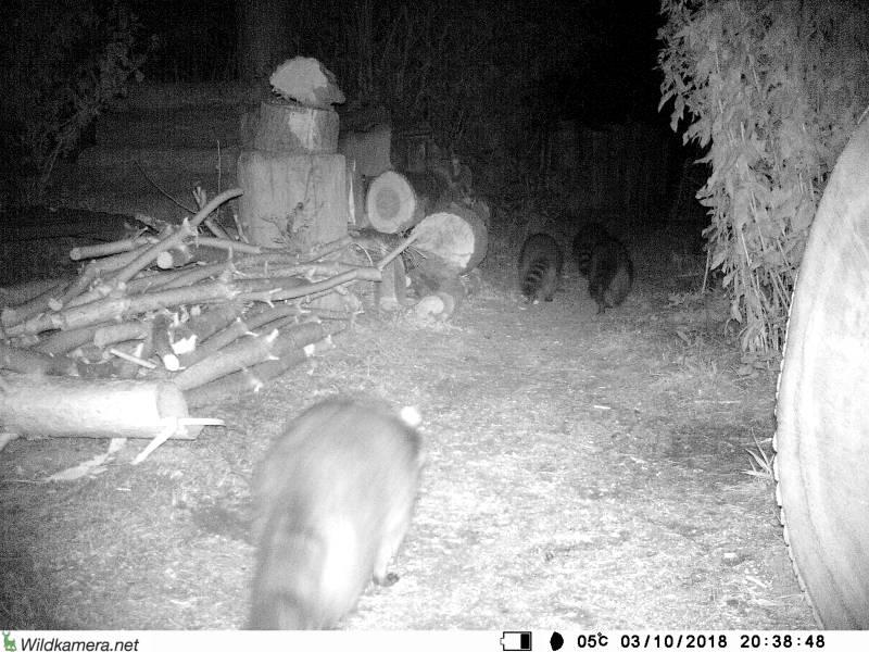 Waschbären im Garten