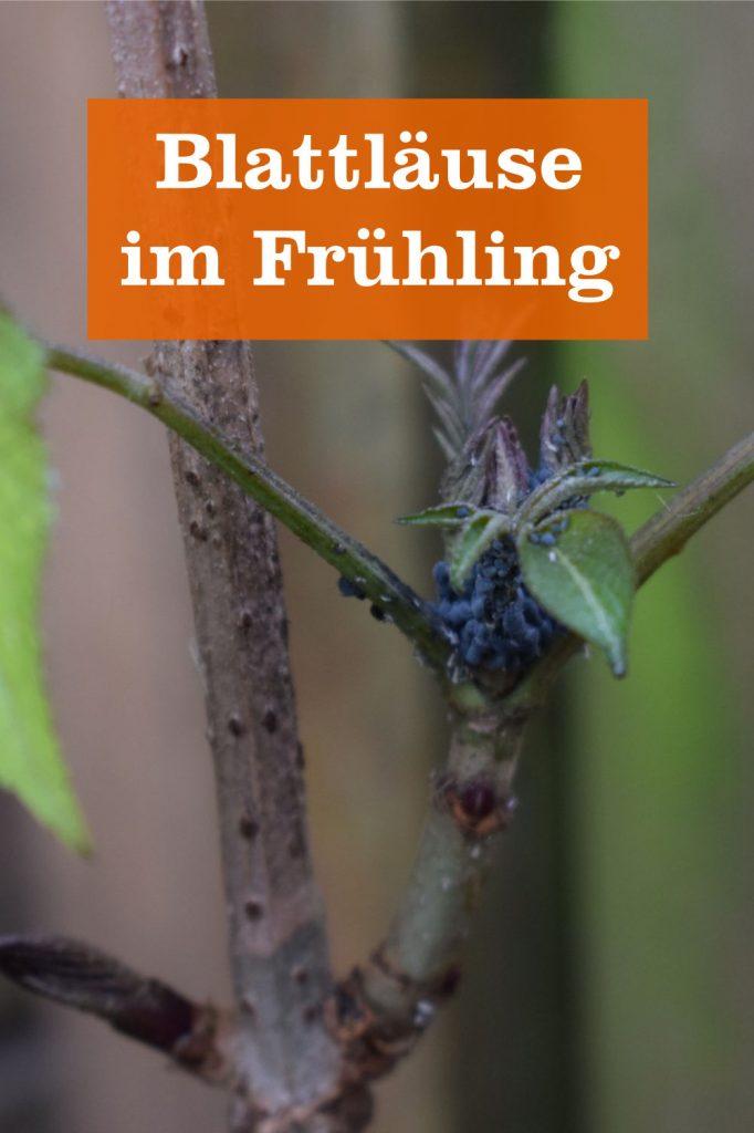 Blattläuse im Frühling