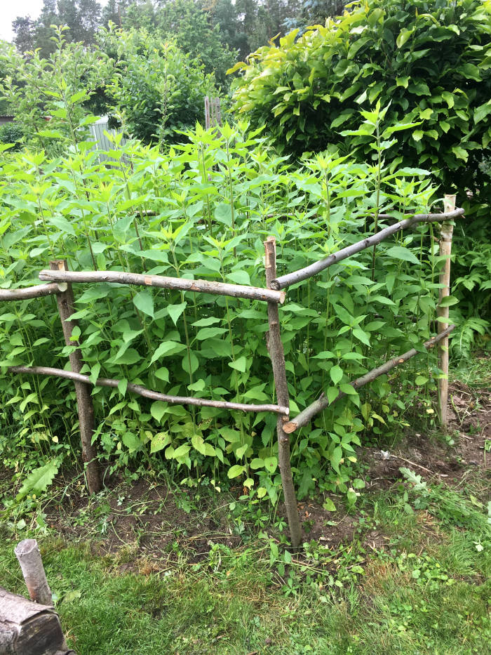Topinambur im Garten