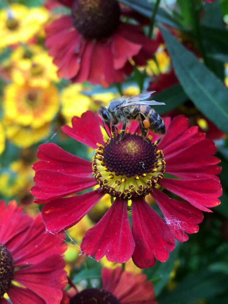 Bienen an Staude