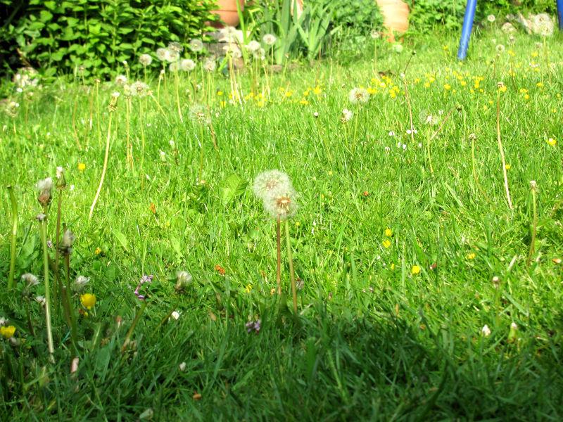 blühender Rasen