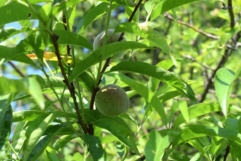 Ein weißer Belag auf den Blättern, Früchten und Trieben