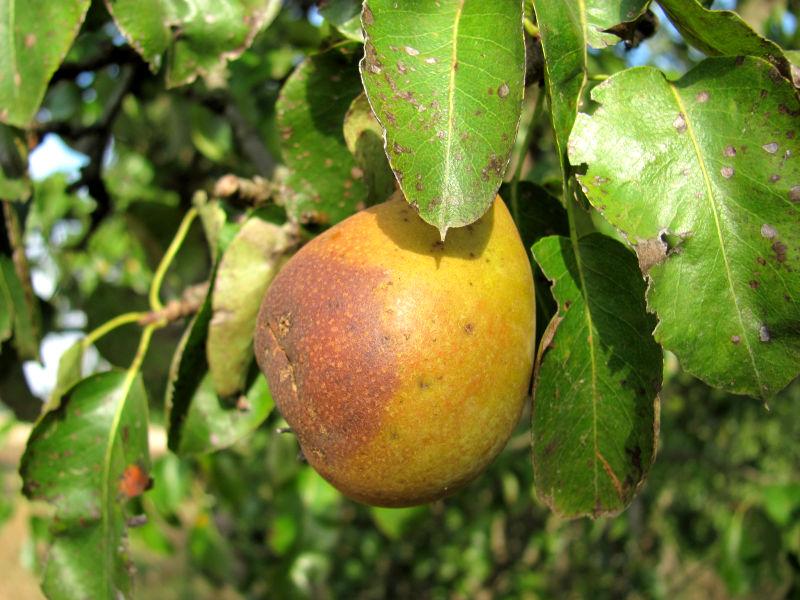 Birne Früchte werden braun