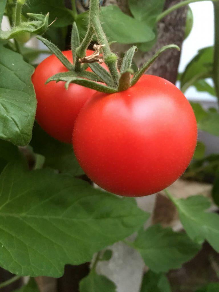 Tomate im Gewächshaus