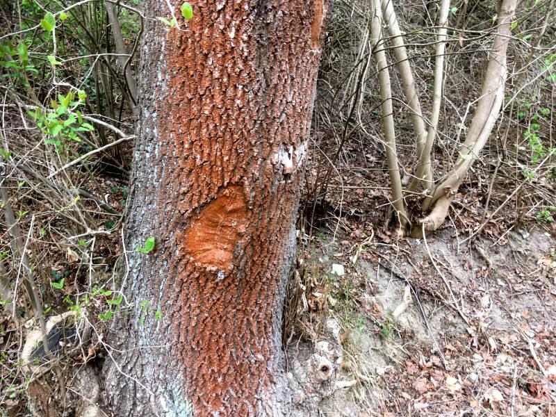 Rote Rinde am Baum