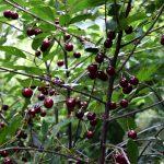 Früchte am Kirschbaum