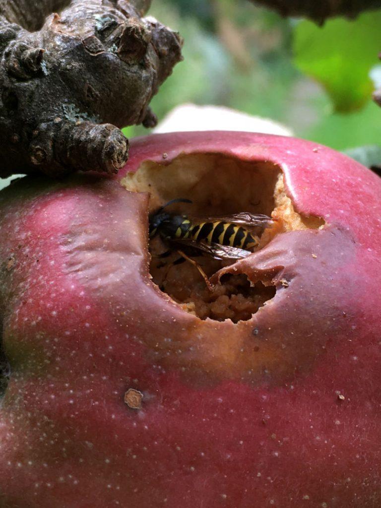 Wespe im Apfel